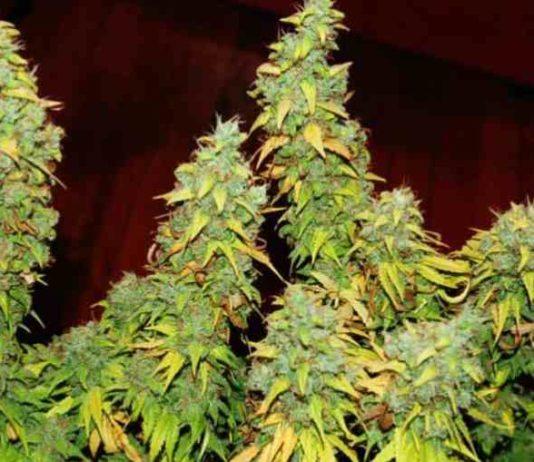 Revienta Cogollos de Marihuana - Fertilizantes Revienta Cogollos