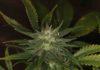 Razones para Consumir Marihuana - Beneficios de Consumir Marihuana