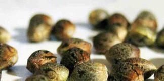 Semillas Regulares - Semillas de Marihuana Regulares