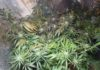 Beneficios Marihuana Salud - Beneficios Marihuana Medicinal