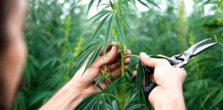 Cultivo Marihuana Medicinal - Empresas Cultivo Marihuana Medicinal