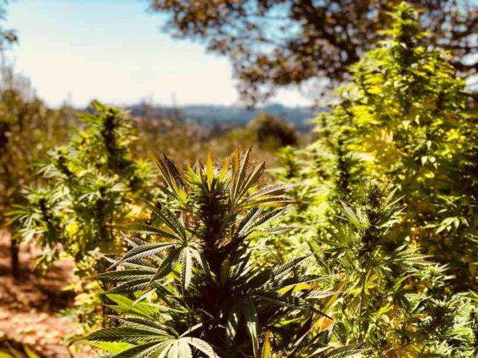 Quitar las Hojas de Marihuana - Cortar las Hojas de la Planta de Marihuana