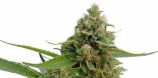 CBD Bubba Kush - Semilla de marihuana CBD Bubba Kush