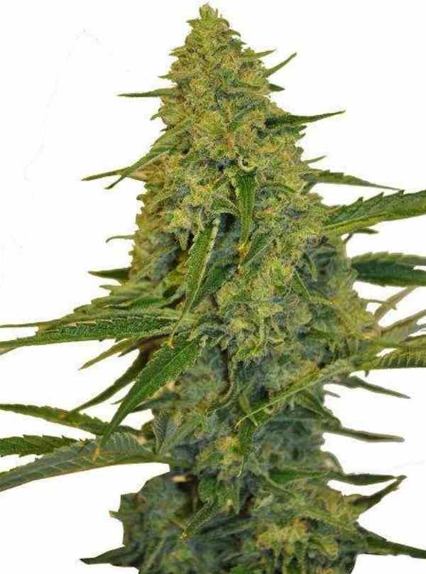 CBD Chem Dawg - Semilla de marihuana CBD Chem Dawg