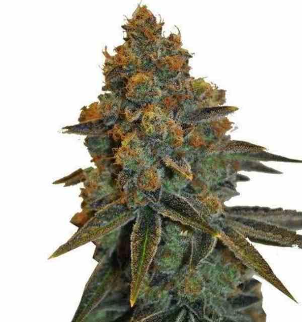 CBD D. Diesel - Semilla de marihuana CBD D. Diesel