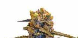CBD New York Diesel - Semilla de marihuana CBD New York Diesel