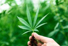 Variedades Marihuana Sativas - Variedades Marihuana Indica