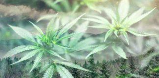 Cultivar Marihuana en Invierno - Plantas de Marihuana en Invierno