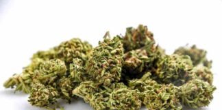 Consejos Cosecha Marihuana - Tips para obtener Buena Cosecha de Marihuana