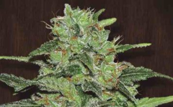 Semilla de Marihuana Malawi - Semillas de Marihuana Malawi Ace Seeds