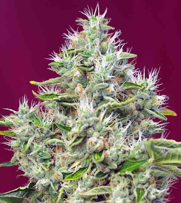 Semilla de Marihuana San Fernando Lemon Kush - Semillas de Marihuana San Fernando Lemon Kush Sweet Seeds