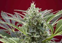 Semillas de Marihuana Cream 47 - Semillas de Marihuana Cream 47 Sweet Seeds