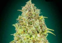 Semilla de Marihuana Skunk 47 - Semillas de Marihuana Skunk 47 Advanced Seeds
