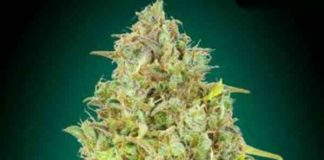 Semilla de Marihuana Skunk 47 - Semillas de Marihuana Skunk 47 Advanced Seeds
