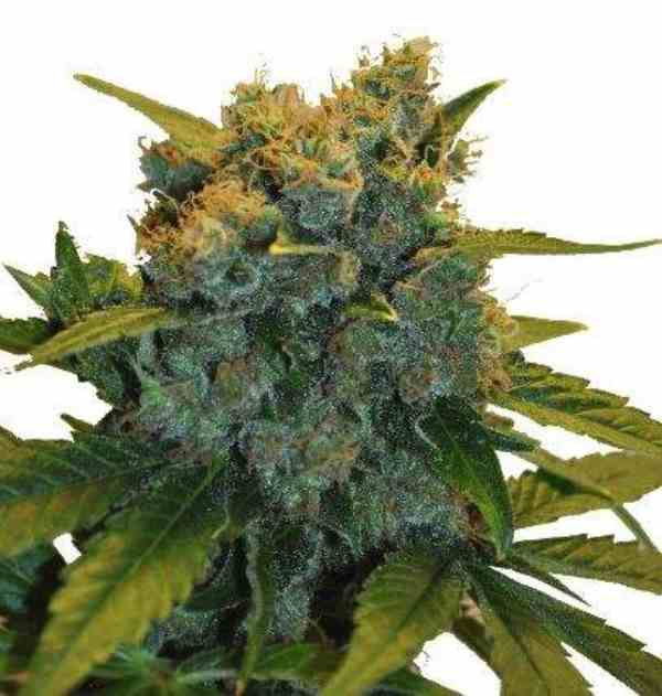 CBD Sensi Star - Semilla de marihuana CBD Sensi Star