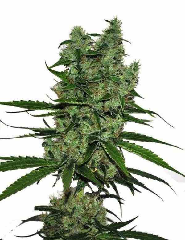 CBD Somango - Semilla de marihuana CBD Somango