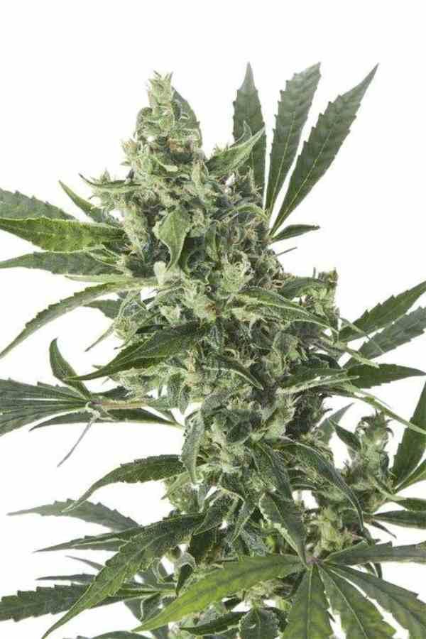 CBD Med Gom Auto - Semilla de marihuana CBD Med Gom Auto