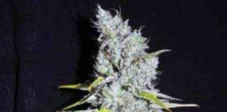 CBD Skunk Haze - Semilla de marihuana CBD Skunk Haze