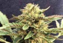 CBD Therapy - Semilla de marihuana CBD Therapy