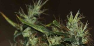 CBD Mango Haze - Semilla de marihuana CBD Mango Haze
