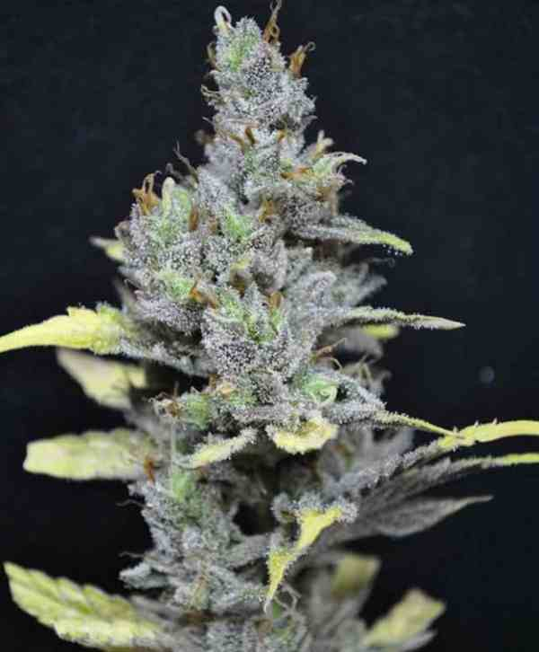 CBD MediHaze - Semilla de marihuana CBD MediHaze