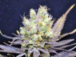 CBD Nordle - Semilla de marihuana CBD Nordle