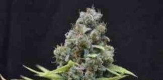 CBD Shark - Semilla de marihuana CBD Shark