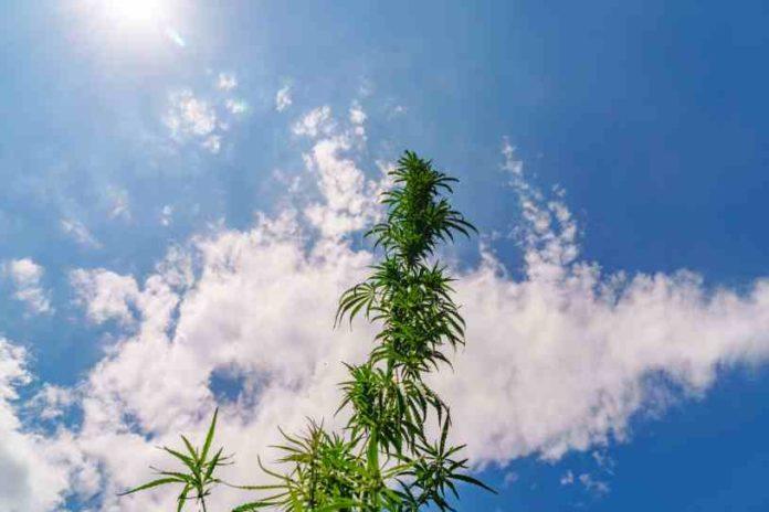 Diferencias entre Cáñamo y Marihuana - Diferenciar Marihuana y Cáñamo
