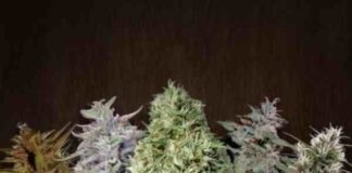 Ace Mix - Semilla de Marihuana Ace Mix