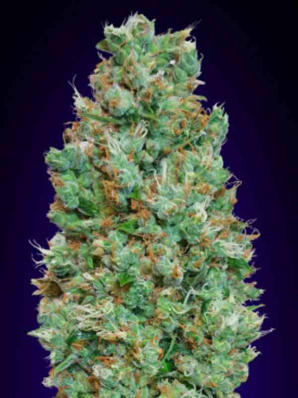 Blueberry - Semilla de Marihuana Blueberry