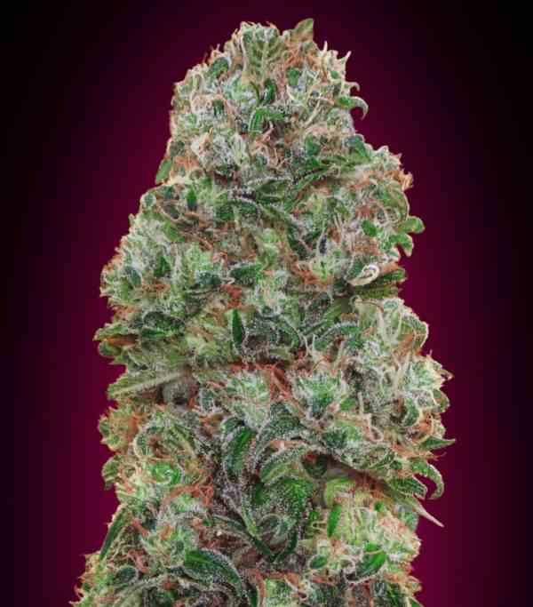 Bubble Gum - Semilla de Marihuana Bubble Gum
