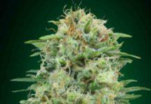 White Widow CBD - Semilla de Marihuana White Widow CBD