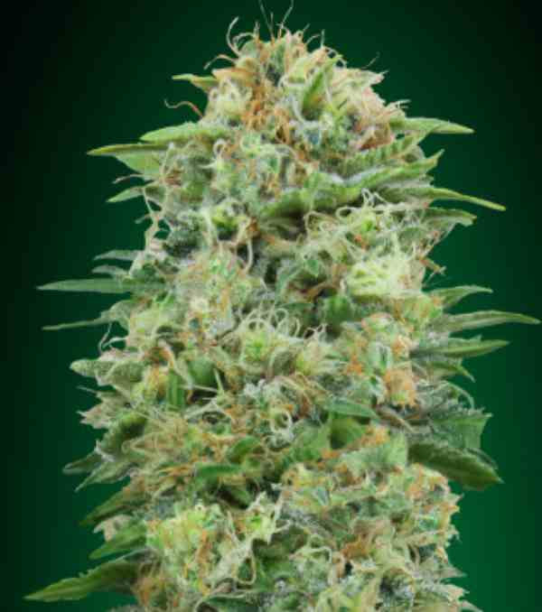 White Widow CBD - Semilla de Marihuana White Widow CBD