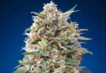 California Kush - Semilla de Marihuana California Kush