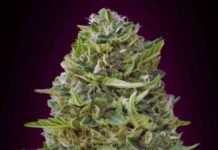 Caramel Kush - Semilla de Marihuana Caramel Kush