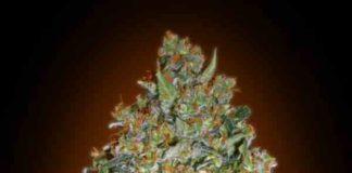 Cheese Berry - Semilla de Marihuana Cheese Berry