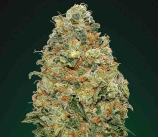White Widow - Semilla de Marihuana White Widow