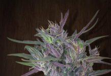 Semilla de Marihuana Oldtimer's Haze - Semillas de Marihuana Oldtimer's Haze Ace Seeds