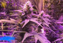 Semilla de Marihuana Critical Purple Kush - Semilla de Marihuana Critical Purple Kush Advanced Seeds
