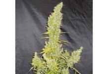 Zamaldelica - Semilla de Marihuana Zamaldelica