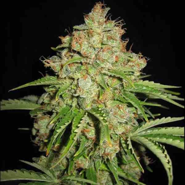 Semilla de Marihuana White Russian - Semillas de Marihuana White Russian Serious Seeds