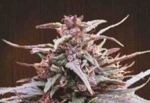 Purple Haze x Malawi - Semilla de Marihuana Purple Haze x Malawi