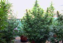 Contaminación Lumínica en el Cultivo - Contaminación Lumínica Marihuana
