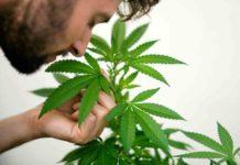 Terpenos de la Marihuana - ¿Son Buenos los Terpenos de la Marihuana?