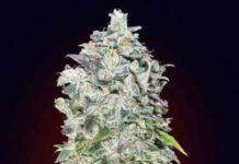 00 Kush de 00 Seeds Bank - Semilla de Marihuana 00 Kush
