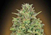 00 Skunk de 00 Seed Bank - Semilla de Marihuana 00 Skunk