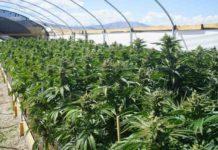 Cultivo Marihuana Espacio Pequeño - Cultivo Marihuana Lugar Reducido