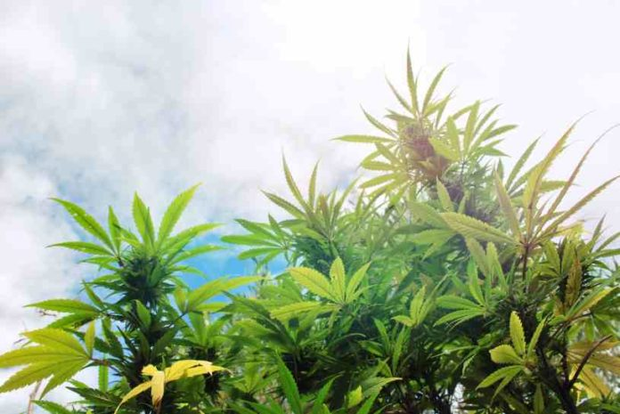 Errores Cultivo Marihuana - Errores en el Cultivo de Marihuana