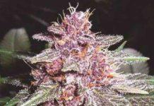Violeta de Ace Seeds - Semilla de Marihuana Violeta