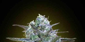 🌱Semilla de Marihuana Critical Lemon - Semillas de Marihuana Critical Lemon Advanced Seeds
